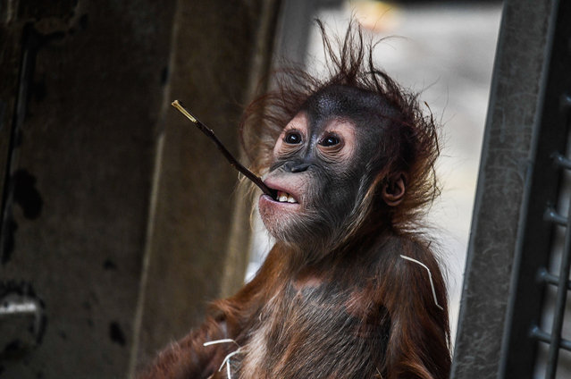 Almost two years old male baby orang-utan Dalai looks on in the zoo in Dresden, Germany, 30 March 2017. Dalai was born to mother Daisy in June 2016. (Photo by Filip Singer/EPA)