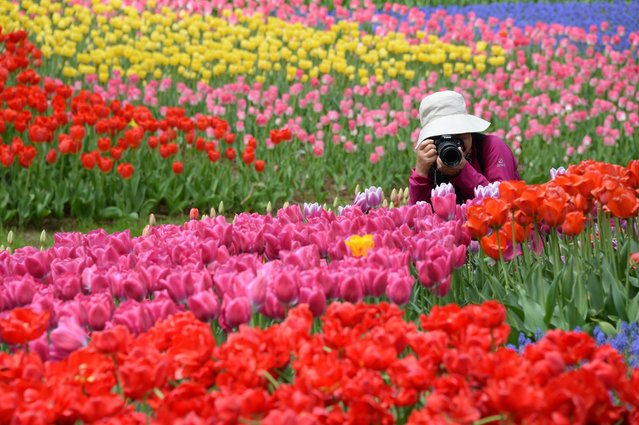 A woman takes pictures of colorful tulips in full bloom at Showa Kinen Park in Tokyo on April 19, 2014. (Photo by Toru Yamanaka/AFP Photo)