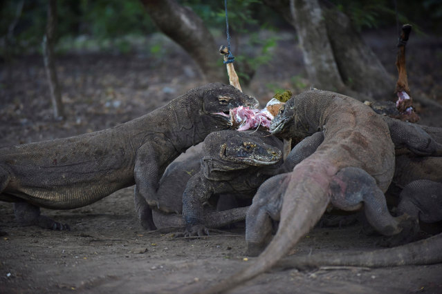 A group of Komodo dragons eat a goat in Komodo National park, a popular tourist destination in eastern Indonesia,  May 24, 2016 in this photo taken by Antara Foto. (Photo by Wahyu Putro A./Reuters/Antara Foto)