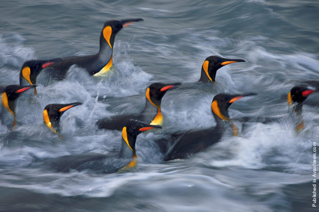 King penguins off the coast of the island of South Georgia, in Golden Bay