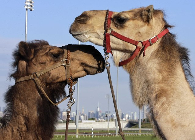"""Two camels look at each other with the New York City skyline behind them, as they are exercised before an exhibition race billed as """"The Cameltonian"""" at the Meadowlands Race Track in East Rutherford, New Jersey, June 21, 2014. Run by Hedrick's Promotions in Nickerson, Kansas, this is the third year the race has been run at the track, in tandem with an ostrich race. (Photo by Ray Stubblebine/Reuters)"""