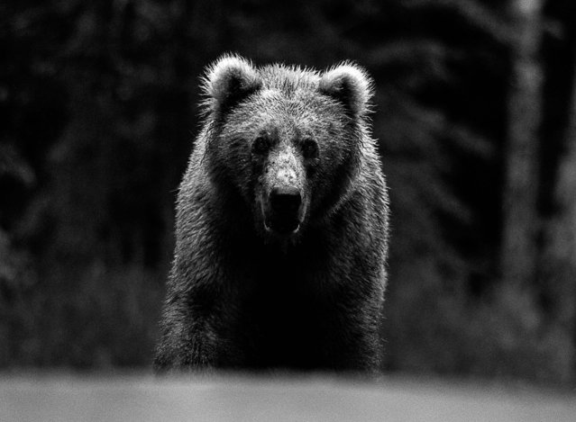 Undated David Yarrow handout photo of a bear as the self-taught wildlife photographer promotes his book, Encounter. (Photo by David Yarrow/Clearview/PA Wire)