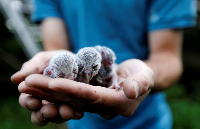 "Scientist Jiri Sindelar holds two newly born Boreal owl chicks taken out from the ""Smart Nest Box"", which allows the study of birds by using mounted cameras, in a forest near the village of Mikulov, Czech Republic, June 18, 2016. (Photo by David W. Cerny/Reuters)"