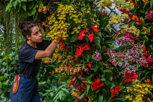 Kew Garden apprentice Alice McKeever adjusts orchids during a press preview of Kew gardens 25th annual Orchid Festival in London, Thursday, February 6, 2020. The first festival with an Indonesian theme has over 5000 orchids on display. The show opens to public on Saturday Feb. 8,2020 and lasts until March 8, 2020. (Photo by Guy Bell/Rex Features/Shutterstock)