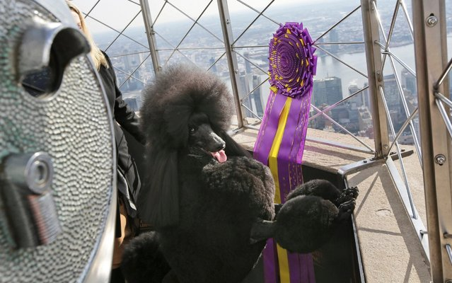 Siba, best in show winner of Westminster Kennel Club dog show, poses for a picture at the Empire State Building in New York, Wednesday, February 12, 2020. (Photo by Seth Wenig/AP Photo)