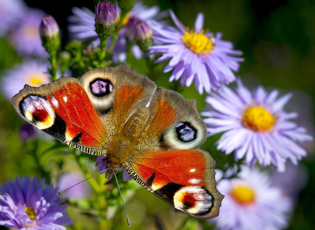 A European peacock butterfly (Inachis io) unfolds its wings in the sun on a blossom in a garden in Frankfurt an der Oder, eastern Germany, on September 20, 2012. (Photo by Patrick Pleul/AFP)
