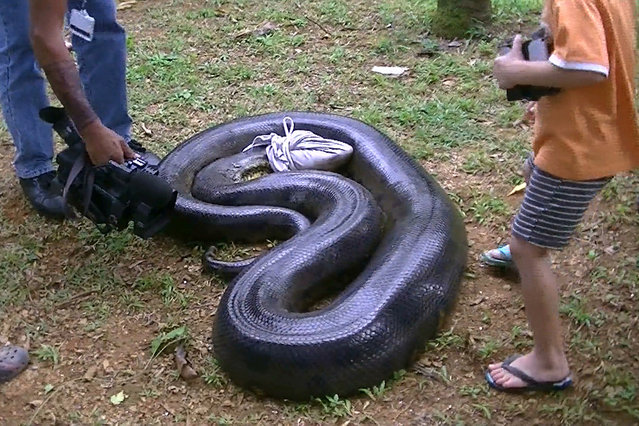 A 17ft anaconda which ate a pet dog seen blindfolded with a t-shirt in Montsinery, French Guiana. (Photo by Sebastien Bascoules/Barcroft Media/ABACAPress)