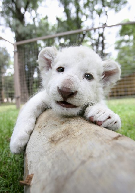 A one-month-old white lion cub plays at an enclosure at Leon's Zoo in Leon, Mexico, October 15, 2012. The white lion cub, born on September 14, was shown to the media Monday at the facilities of the Zoo, according to local media. (Photo by Mario Armas/Reuters)