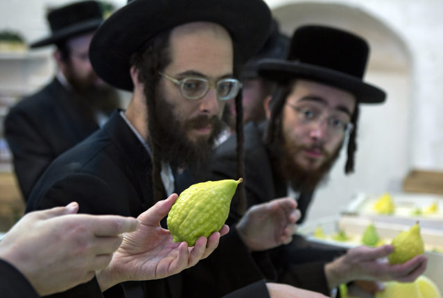 Ultra-Orthodox Jews inspect etrogs, or citrons, inside a shop in the Mea Shearim neighbourhood in Jerusalem, 07 October 2014, as they look to purchase an unblemished fruit ahead of the holiday of Sukkot. (Photo by Jim Hollander/EPA)
