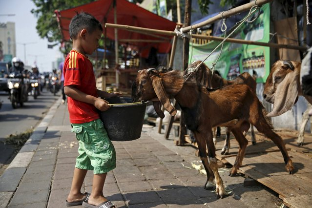 A boy feeds a goat at a makeshift livestock market on the side of a busy road ahead of the Eid al-Adha festival in Jakarta, Indonesia, September 22, 2015. (Photo by Nyimas Laula/Reuters)