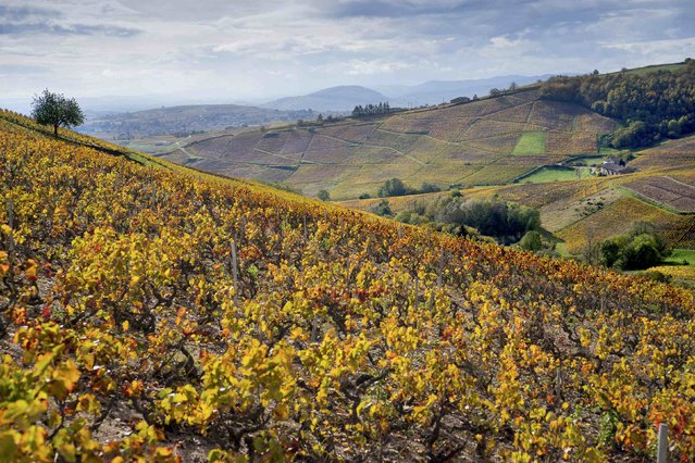 The Beaujolais vineyards are seen on a sunny autumn day, outside Fleurie, France November 11, 2014. (Photo by Robert Pratta/Reuters)