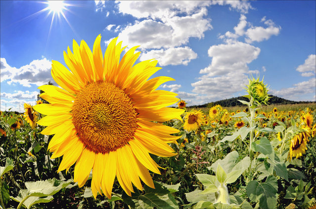 In this Wednesday, September 17, 2014 photo, the sun shines over a field of sunflowers in Walkill, N.Y. (Photo by John DeSanto/AP Photo/Times Herlad-Record)