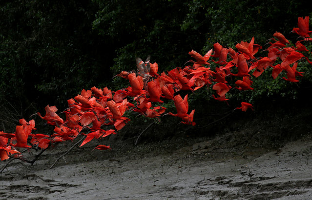 Scarlet ibis fly near the banks of a mangrove swamp located at the mouth of the Calcoene River on the coast of Amapa state, northern Brazil, April 6, 2017. (Photo by Ricardo Moraes/Reuters)