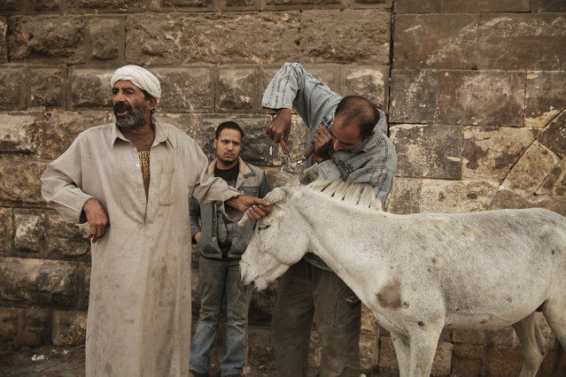 In this Saturday, March 8, 2014 photo, Mohamed Mahmoud, right, clips the mane of a donkey as his father, Mahmoud, left, holds an ear at their makeshift barbershop in Cairo, Egypt. (Photo by Maya Alleruzzo/AP Photo)