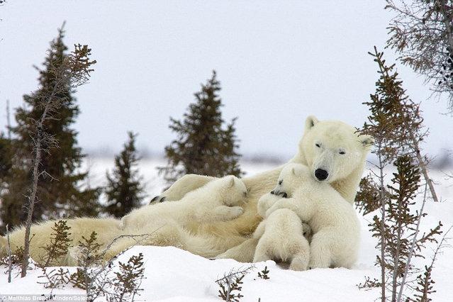 Family Of Polar Bears