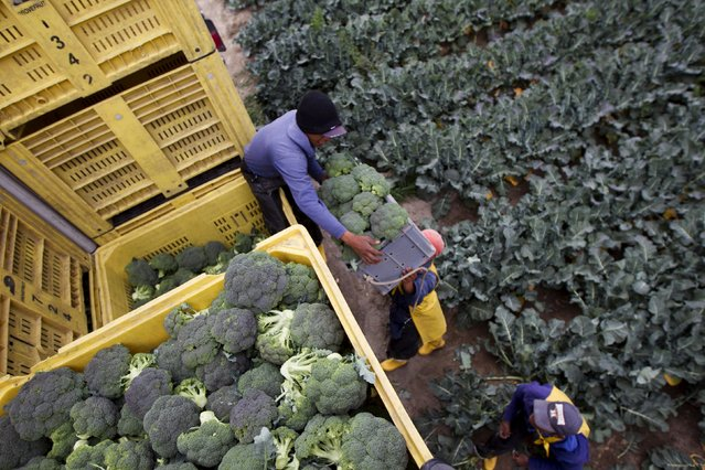 Ecuadorean farmers harvest broccoli at the Tilipulo Farm in Latacunga, on the outskirts of the Cotopaxi volcano, one of the world's highest active volcanoes, in Ecuador, October 19, 2015. Ecuadorian authorities are monitoring activity at Cotopaxi volcano and has maintained a yellow alert for eruptions as bursts of ash keep spewing from the snow-encircled crater of the volcano and falling in gusts on residential communities. (Photo by Guillermo Granja/Reuters)