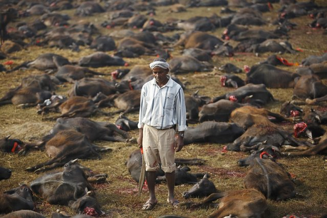 """A butcher holding his blade stands among sacrificed buffalos inside an enclosed compound during the sacrificial ceremony of the """"Gadhimai Mela"""" festival held in Bariyapur November 28, 2014. Sword-wielding Hindu devotees in Nepal began slaughtering thousands of animals and birds in a ritual sacrifice on Friday, ignoring calls by animal rights activists to halt what they described as the world's largest such exercise. (Photo by Navesh Chitrakar/Reuters)"""