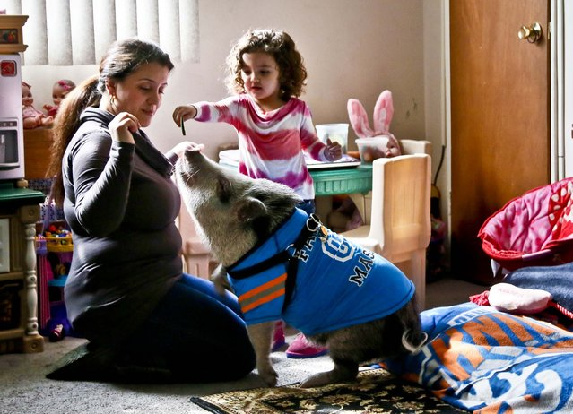 Danielle Forgione and her daughter, Olivia, 3, play with Petey, the family's pet pig, in the Queens borough of New York, on March 21, 2013. Forgione is scrambling to sell her second-floor apartment after a neighbor complained about 1-year-old Petey the pig to the co-op board. In November and December she was issued city animal violations and in January was told by both the city and her management office that she needed to get rid of the pig. (Photo by Bebeto Matthews/Associated Press)