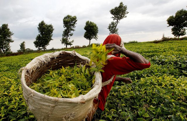 A worker picks tea at a plantation in Githunguri near Kenya's capital Nairobi, January 6, 2012. (Photo by Thomas Mukoya/Reuters)