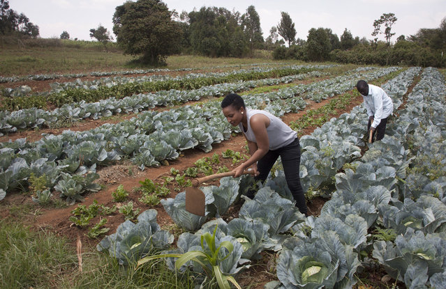 In this January 17, 2018 photo, former reality show contestant Leah Wangari cultivates cabbages at an agricultural training farm in Limuru, near the capital Nairobi, in Kenya. An unusual new reality TV show backed by the U.S. government is the first of its kind in Africa, training young adults from Kenya and neighboring Tanzania in farming and giving them plots to cultivate, with a $10,000 prize for the most productive. (Photo by Sayyid Abdul Azim/AP Photo)