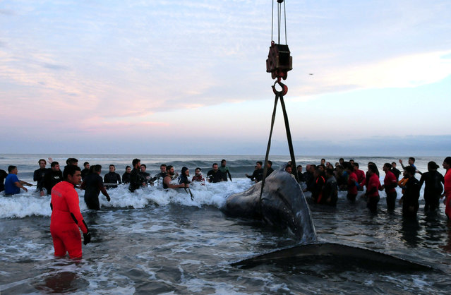 A crane is used to move a humpback whale stranded at Punta Mogotes beach in Mar de Plata, Argentina, April 9, 2018. (Photo by Reuters/Stringer)