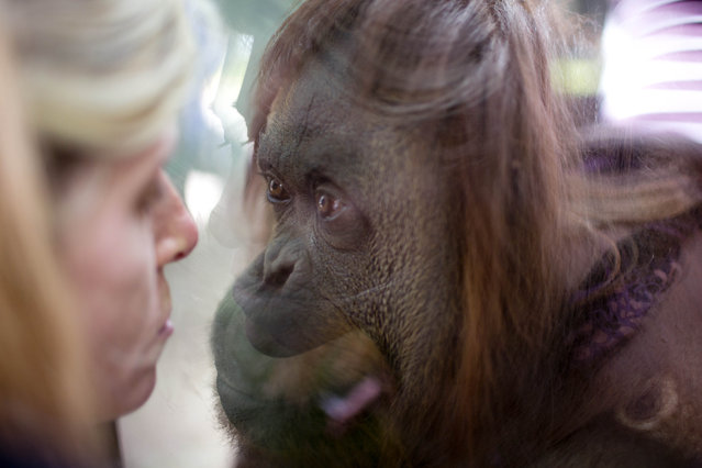 An orangutan named Sandra looks through a window at a journalist inside her enclosure at the Buenos Aires' Zoo in Buenos Aires, Argentina, Monday, December 22, 2014. An Argentine court has ruled that Sandra, who has spent 20 years at the zoo, is entitled to some legal rights enjoyed by humans. The ruling would free Sandra from captivity and have her transferred to a nature sanctuary after a court recognized that the primate has some basic human rights. (Photo by Natacha Pisarenko/AP Photo)