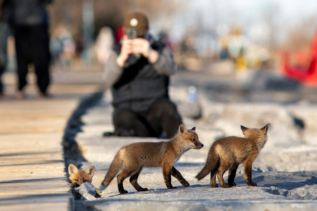 Fox cubs venture out from their den under a popular boardwalk alongside Lake Ontario during the global outbreak of the coronavirus disease (COVID-19), in Toronto, Ontario, Canada on April 22, 2020. (Photo by Carlos Osorio/Reuters)