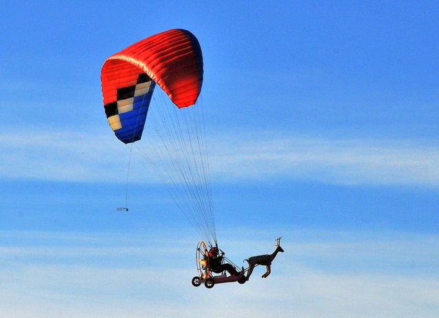 A unusual sight in the skies of Blagoevgrad, Bulgaria, 01 December 2015 as a pilot dressed as Santa Claus comes in on a paramotorized 'sledge' headed by a reindeer effigy and not pulled by traditional flying reindeer. The flying Santa first appeared in the sky at the foot of the Rila mountain in 2014. Now the curious sight on the eve of Christmas and New Year is already known to many, with local children waiting eagerly to meet the grey-bearded man in a red costume. (Photo by Emil Mihaylov/EPA)