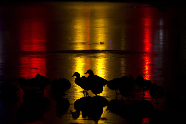 Ducks rest on the frozen surface of a lake illuminated by lights from a nearby bar in Beijing, Monday, January 12, 2015. Beijing's winter is a time to partake in winter activities such as ice skating, ice-karting and for the those hardy enough winter swimming. (Photo by Ng Han Guan/AP Photo)