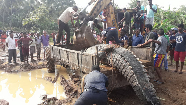 People load a crocodile onto a tractor before releasing it back into a nearby river in the south town of Matara, Sri Lanka on November 7, 2016. (Photo by Xinhua/Barcroft Images)