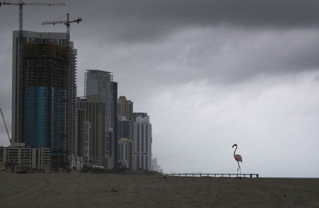 A lone pink flamingo is seen as it walks along Haulover Beach on May 17, 2018 in Miami Beach, Florida. Lifeguards on the beach said that the flamingo showed up on Saturday and has been hanging around since. Biologists say that it is unusual for the birds to fly solo and are keeping an eye on the bird in case it becomes distressed. (Photo by Joe Raedle/Getty Images)