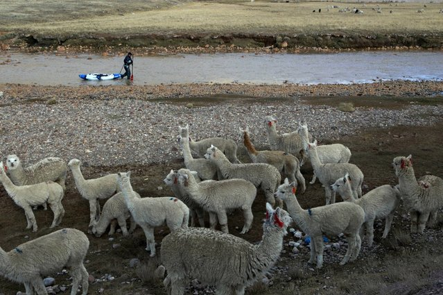 September 5, 2012 – Santa Isabel, Peru – Amazon Express expedition leader West Hansen drags his kayak through the shallows of the Rio San Juan by a herd of alpacas. (Photo by Erich Schlegel/zReportage via ZUMA Press)