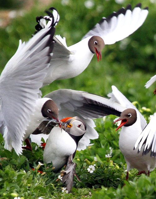 Wildlife photographer Calum Kerr snapped a hungry puffin as he lost most of his fish supper to a group of ravenous gulls, on August 1, 2013. (Photo by Calum Kerr/Caters News)