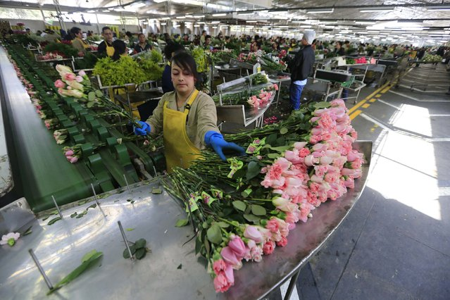 A Colombian flower grower selects roses ahead of Valentine's Day in Facatativa, January 29, 2015. (Photo by John Vizcaino/Reuters)