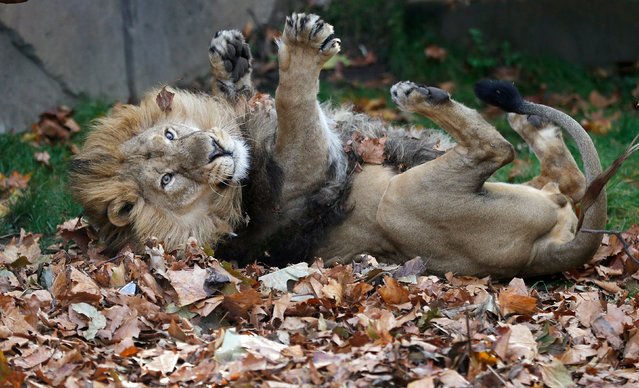 Bhanu, an Asiatic lion, rolls in leaves scented with cardamon, cinnamon and clove in his enclosure at London Zoo, London, Britain, October 18, 2018. (Photo by Peter Nicholls/Reuters)