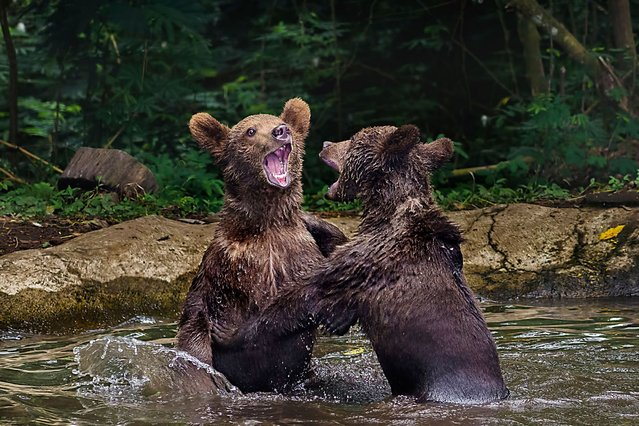This is the incredible moment two bears were spotted trading blows in a boisterous river battle at Taman Safari Zoo in Indonesia, on Oktober 23, 2013. (Photo by Caters News)