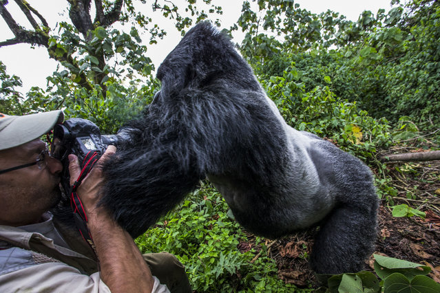 Christophe Vasselin gets pushed over by a gorilla. (Photo by Christophe Vasselin/Caters News Agency)