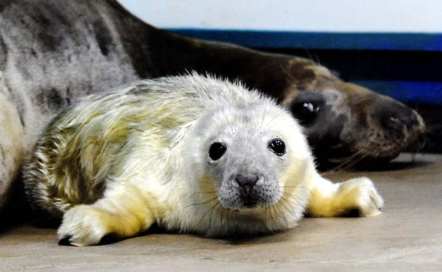 A baby grey seal, on New Year's Day, is seen with his mother, 10-year-old Lily, at the Brookfield Zoo in Brookfield, Illinois, on January 2, 2013. Zoo officials say the pup, who weighs 25 pounds (11,3 kg), is the first of its species to be born at the zoo. (Photo by Chicago Zoological Society)