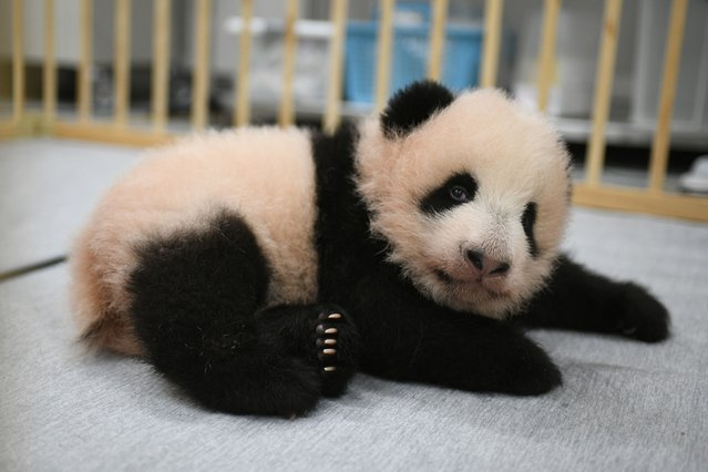 This photo released by Tokyo Zoological Park Society shows Lei Lei, one of giant panda twins, 103 days after she was born at Ueno Zoo in Tokyo Monday, October 4, 2021. The twin cubs, Lei Lei and her brother Xiao Xiao, which were palm-size pink creatures when born on June 23, got their names Friday, Oct. 8, 2021, chosen from hundreds of thousands of suggestions sent from fans around the country. (Photo by Tokyo Zoological Park Society via AP Photo)