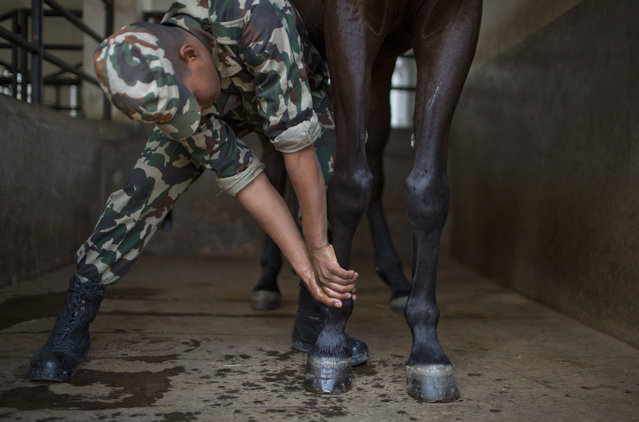 In this March 19, 2019, photo, a Nepalese army man massages a horse leg while he prepares the animal for Ghode Jatra festival at the Nepal cavalry ground in Kathmandu, Nepal. (Photo by Niranjan Shrestha/AP Photo)