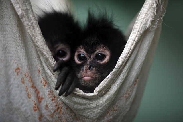 Spider monkeys, that had been found on a bus inside a bag with three dead monkeys, rest in a hammock at the Federal Wildlife Conservation Center on the outskirts of Mexico City May 20, 2011. (Photo by Carlos Jasso/Reuters)
