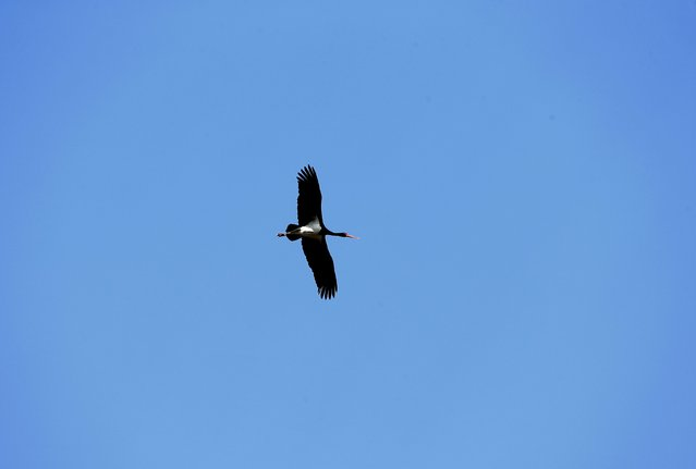 A black stork flies through the 30 km (19 miles) exclusion zone around the Chernobyl nuclear reactor near the abandoned village of Dronki, Belarus, April 2, 2016. (Photo by Vasily Fedosenko/Reuters)