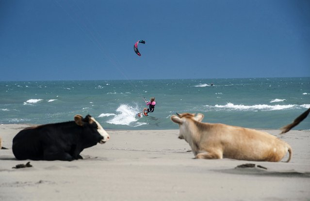 A kite surfer sails on a downwind run on the waves of Mediterranean Sea as the cows stands on the shore of the sea near the town of Ulcinj, Montenegro on May 19, 2015. (Photo by Armend Nimani/AFP Photo)