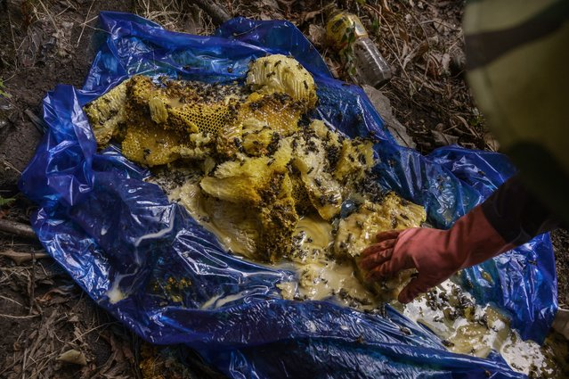 A Chinese ethnic Lisu honey hunter gathers fresh wild cliff honey in a tarp after collecting it from hives in a gorge on May 10, 2019 near Mangshi, in Dehong prefecture, Yunnan province China. (Photo by Kevin Frayer/Getty Images)