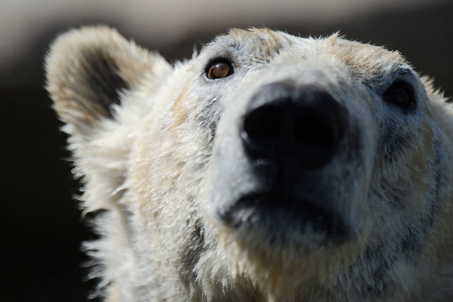 A polar bear is pictured during the opening day of the new polar area at the zoo of Mulhouse on April 2, 2014. (Photo by Sebastien Bozon/AFP Photo)