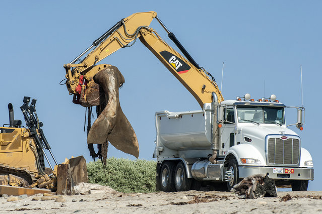 Crews begin to remove a massive gray whale carcass from Southern California's San Onofre State Beach in San Clemente, Calif., Thursday, April 28, 2016. The whale washed ashore Sunday at a famous surf break called Lower Trestles north of downtown San Diego. (Photo by Mark Rightmire/The Orange County Register via AP Photo)