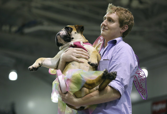 John Jacobson, of Pleasant Hill, Iowa, carries his dog Baby to the stage after it was named the miss congeniality winner at the 35th annual Drake Relays Beautiful Bulldog Contest, Monday, April 21, 2014, in Des Moines, Iowa. (Photo by Charlie Neibergall/AP Photo)