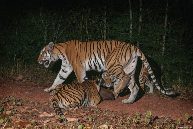 In this 2016 photo released by Thailand's Department of National Parks, Wildlife and Plant Conservation/Freeland, two tiger cubs investigate a rock along a forest trail as their mother walks past in the jungle in eastern Thailand. Thailand's Department of National Parks, Wildlife and Plant Conservation, Freeland, an organization fighting human and animal trafficking, and Panthera, a wild cat conservation organization, announced Tuesday, March 28, 2017 that their investigations had photographic evidence of new tiger cubs in eastern Thailand's jungle, signaling the existence of the world's second breeding population of endangered Indochinese tigers. (Photo by Thailand's Department of National Parks, Wildlife and Plant Conservation/Freeland via AP Photo)