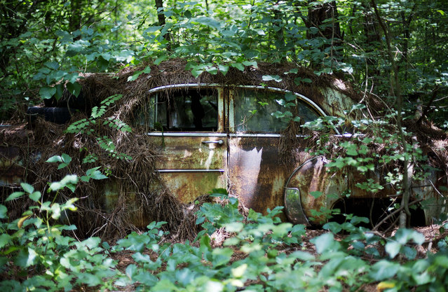 Trees grow over a car at Old Car City, the world's largest known classic car junkyard Thursday, July 16, 2015, in White, Ga. (Photo by David Goldman/AP Photo)