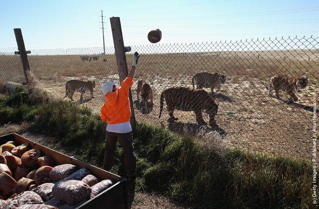 Animal caretakers feed animals at The Wild Animal Sanctuary